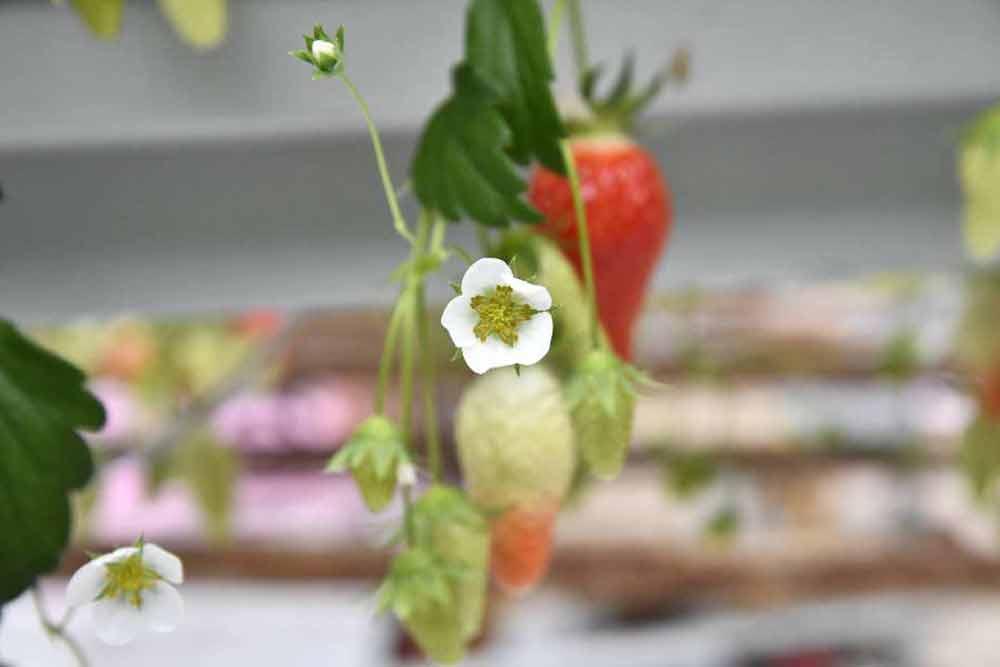 Fleur de fraises