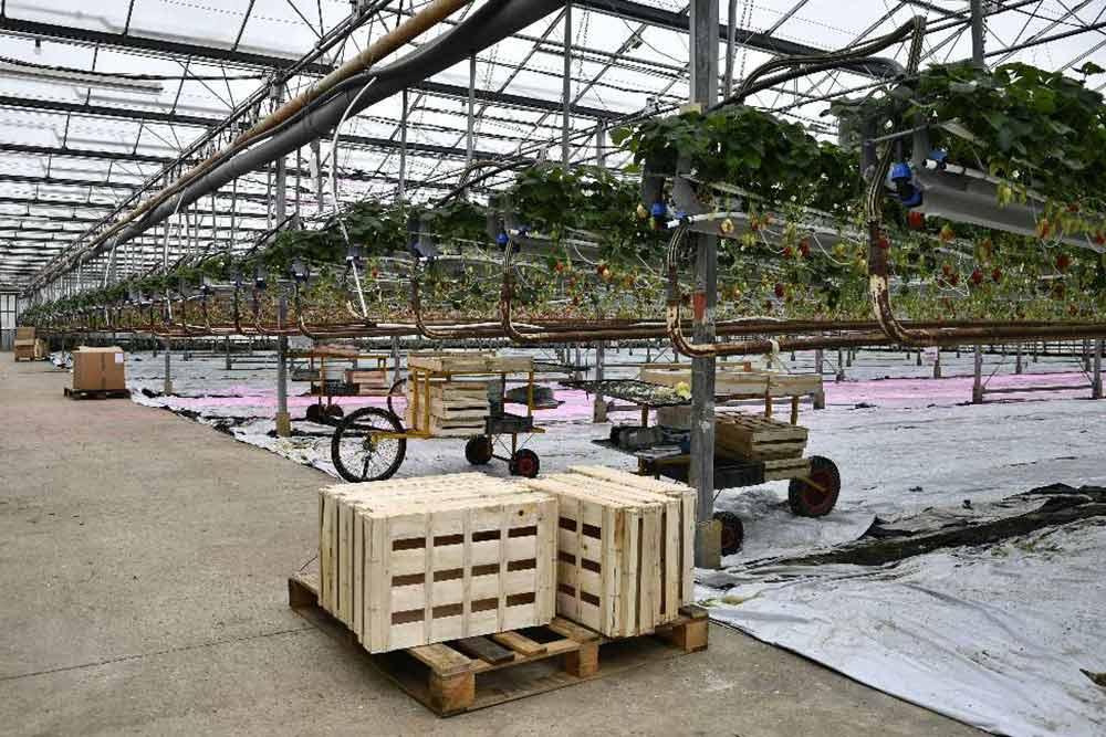 Production fraises serre verre éclairage VGD