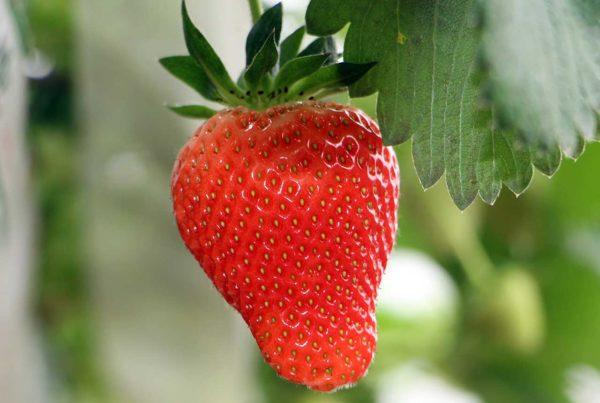 Fruits rouges fraise gros plan