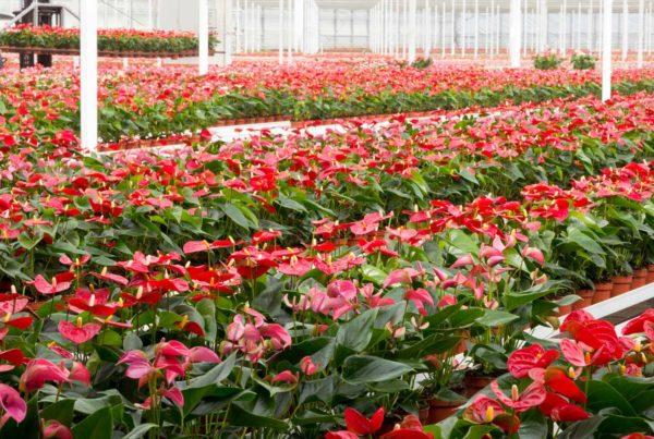 Eclairage horticole serre fleurs