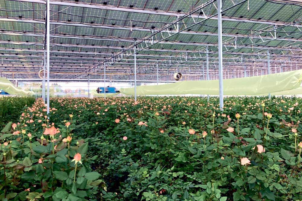 Serre de roses en région Sud