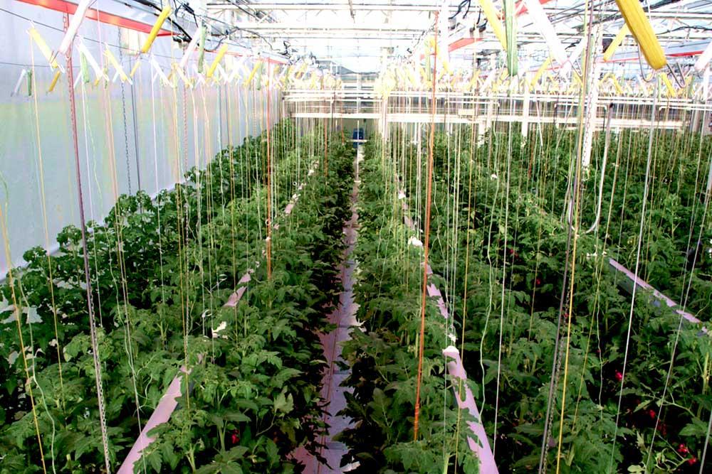 Essais éclairage tomates serre verre CTIFL highrack 6 voies